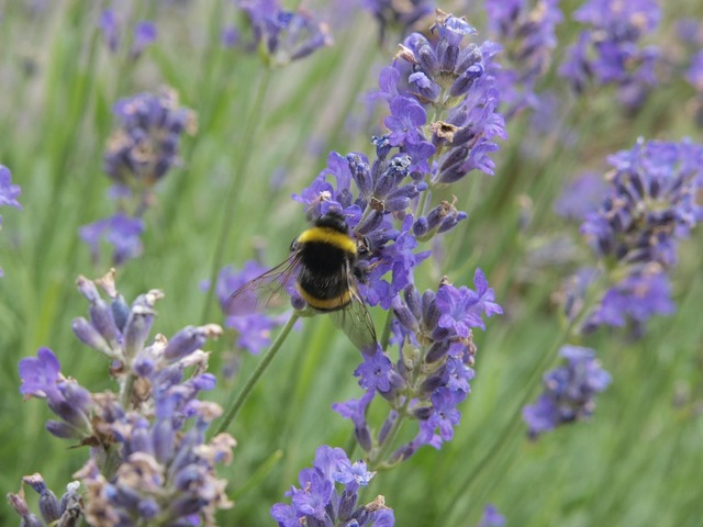 Lavender hummel bee, animals.