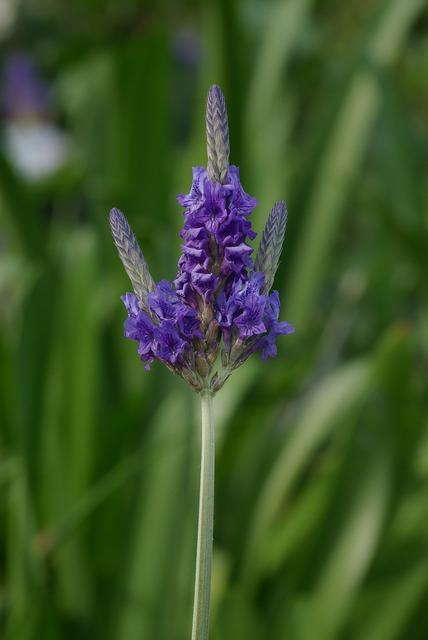 Lavender lavandula multifida lamiaceae, nature landscapes.