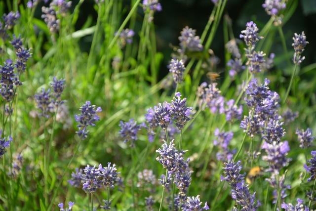 Lavender lavender blossom flowers.