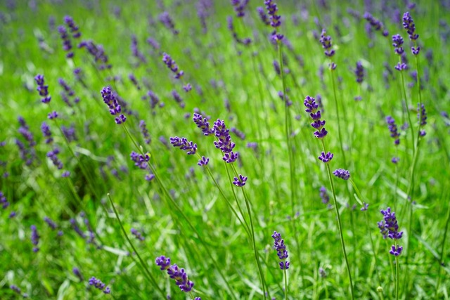 Lavender lavender field flowers, nature landscapes.