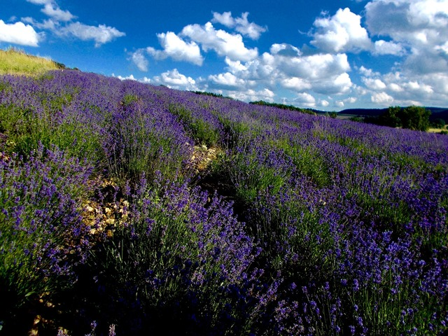 Lavender lavender field lavandula angustifolia.