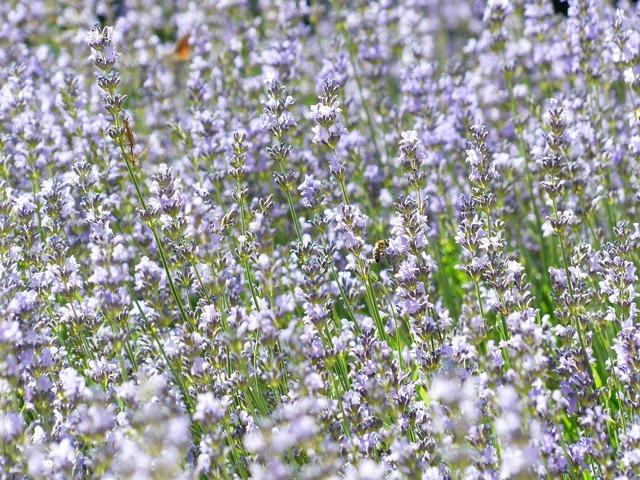Lavender lavender field lavender cultivation.