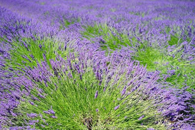 Lavender lavender field lavender flowers, nature landscapes.
