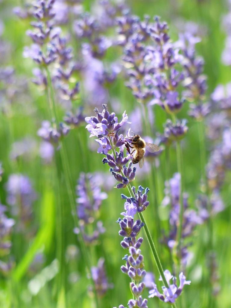 Lavender lavender flowers bee, animals.
