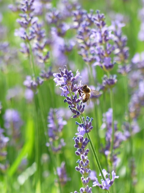 Lavender lavender flowers bee, animals.