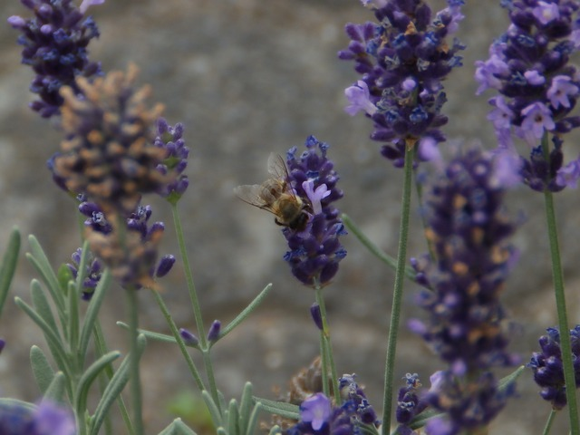 Lavender lavender flowers flowers, nature landscapes.