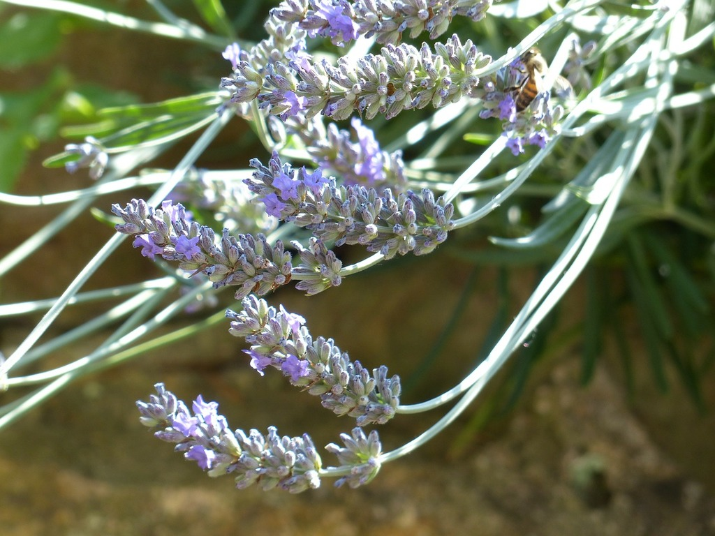 Lavender lavender flowers insect, animals.