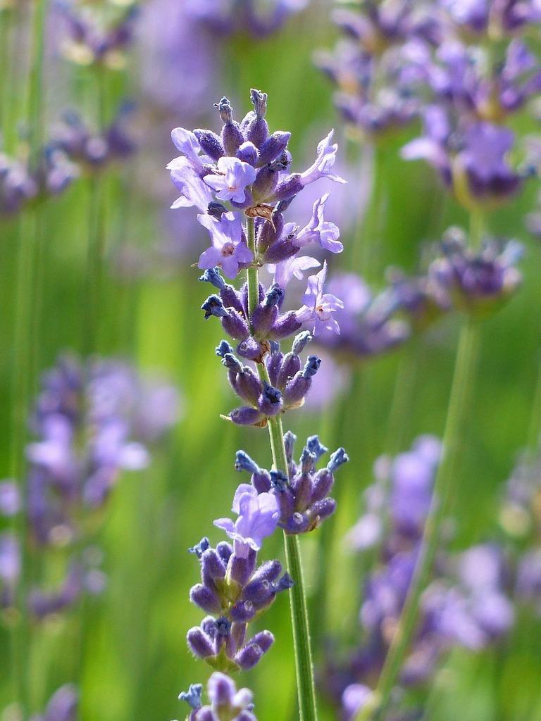 Lavender lavender flowers purple.