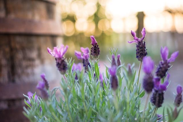 Lavender plant barrel, nature landscapes.
