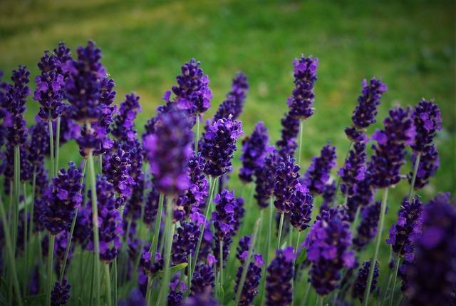 Lavender plant nature, nature landscapes.