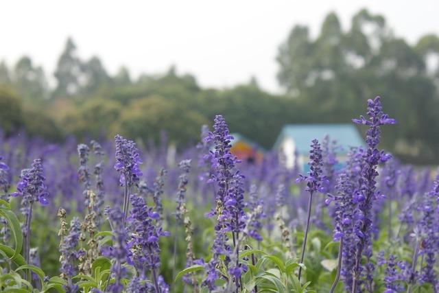 Lavender purple flowers purple.