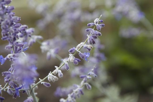 Lavender purple lavender flowers, nature landscapes.