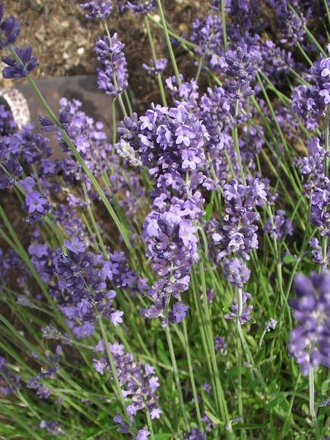 Lavender purple violet.