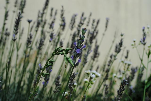 Lavender summer medicinal.