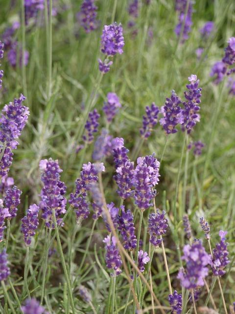 Lavender summer purple.