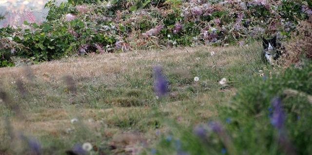 Lawn dandelion cat, animals.