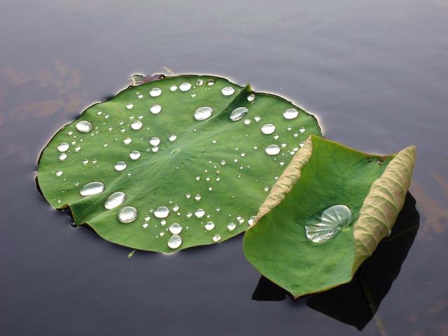 蓮 leaf dew buddhism, religion.