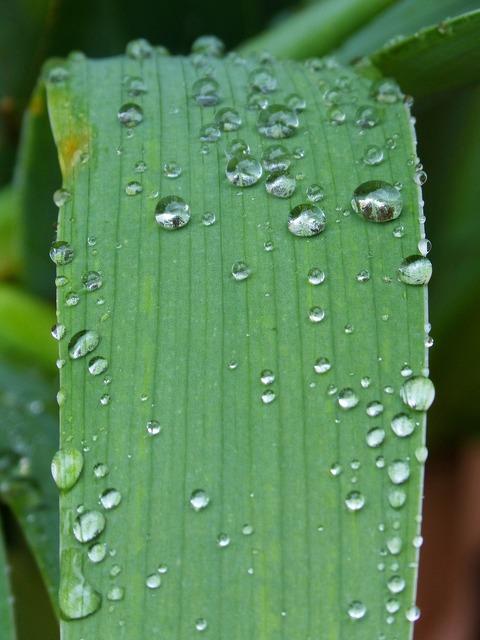 Leaf drops rocio.