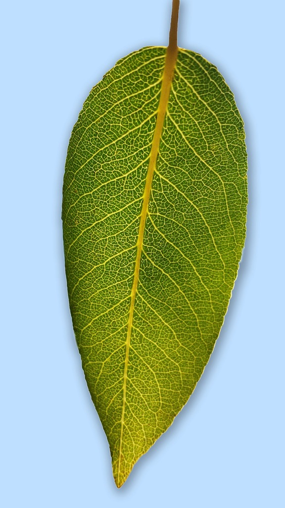 Asian pear leaf — img 4