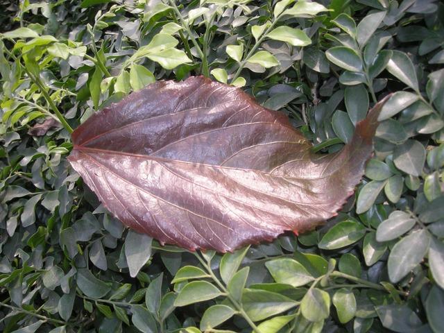 Leaf red natural, nature landscapes.
