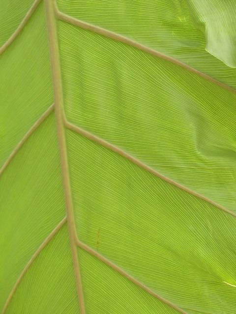 Leaf veins leaf large.