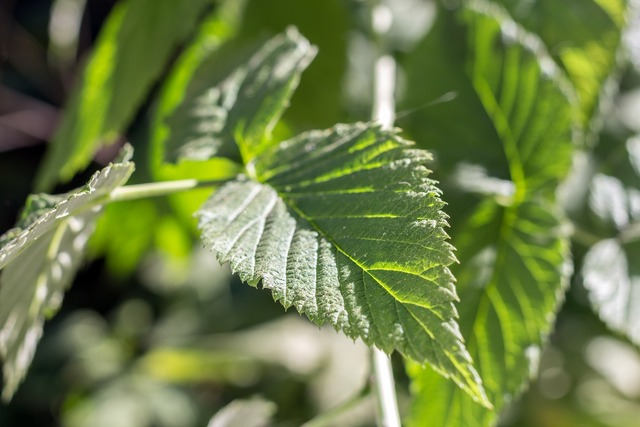 Leaves green raspberry, nature landscapes.