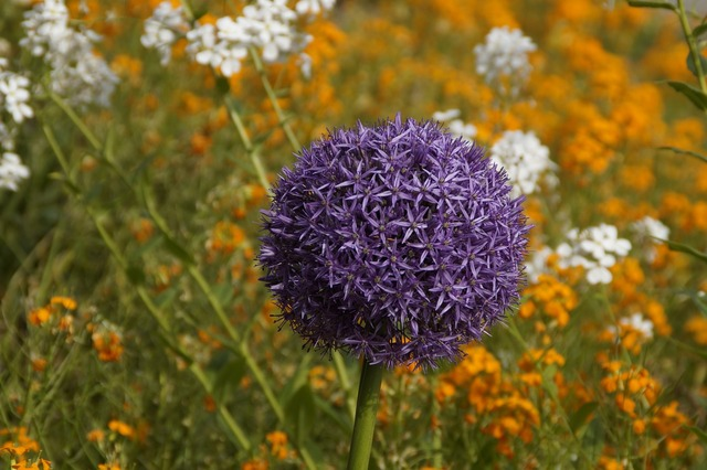 Leek bloom purple, nature landscapes.