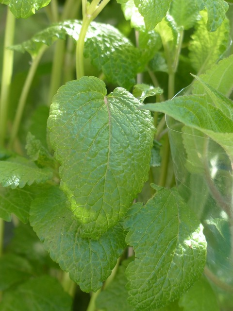 Lemon balm balm kitchen herb, nature landscapes.