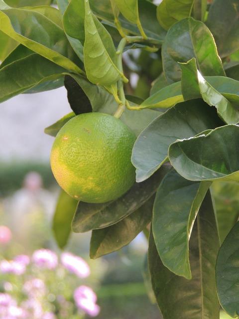 Lemon fruit green, food drink.