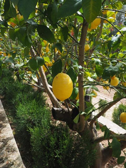 Lemon limone lemon tree, food drink.