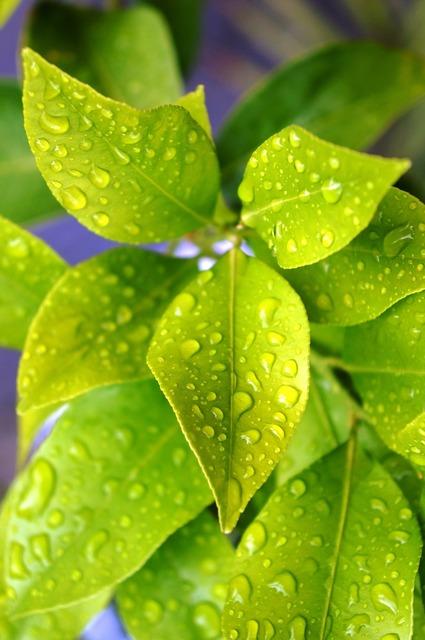 Lemon plant drops, nature landscapes.
