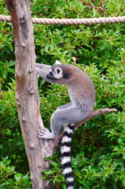 Lemur africa ring tailed lemur.
