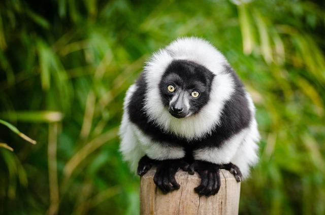 Lemur madagascar primate, animals.