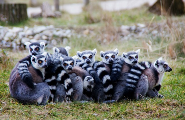 Lemurs prosimians lermuren.