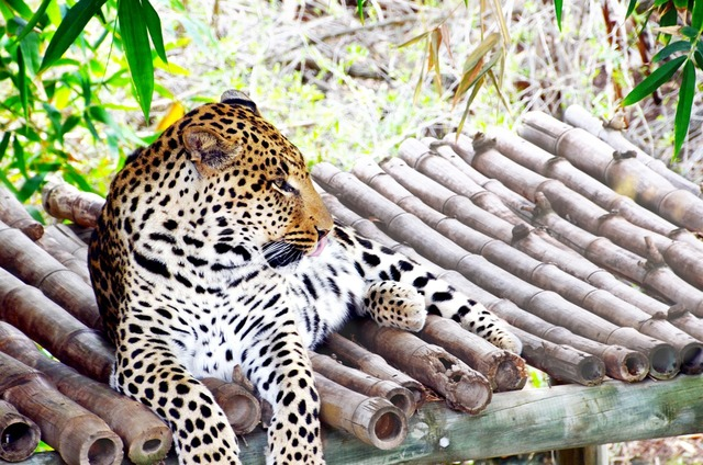 Leopard africa wildcat, animals.