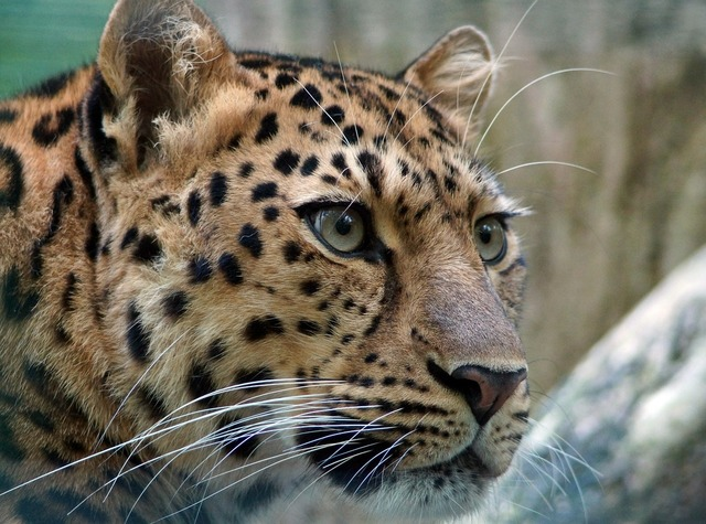 Leopard amur cat, animals.