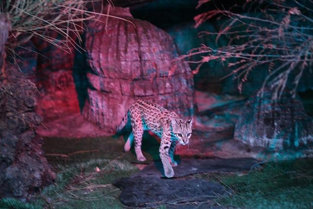 Leopard cat ocelot, animals.