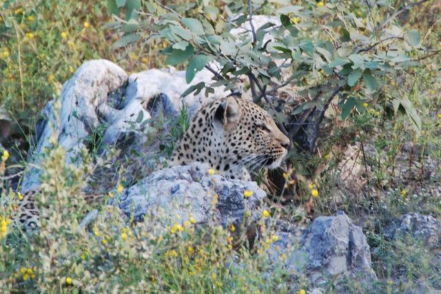 Leopard concerns animal, animals.
