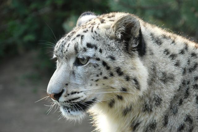 Leopard snow leopard tiger.