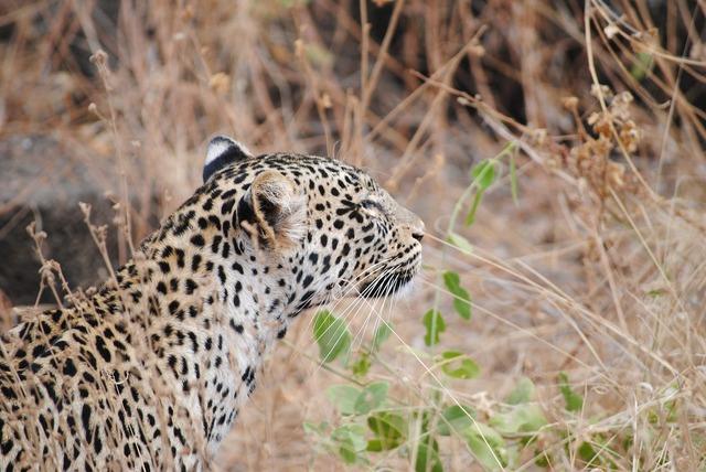 Leopard tsavo national park.