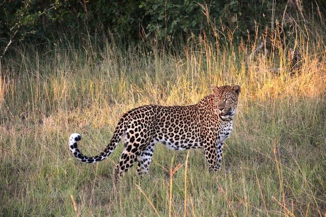 Leopard wildcat cat, animals.