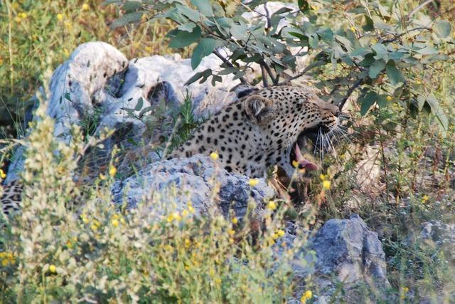 Leopard yawn tired, animals.