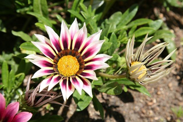Let honiara chrysanthemum decoration flowers, nature landscapes.