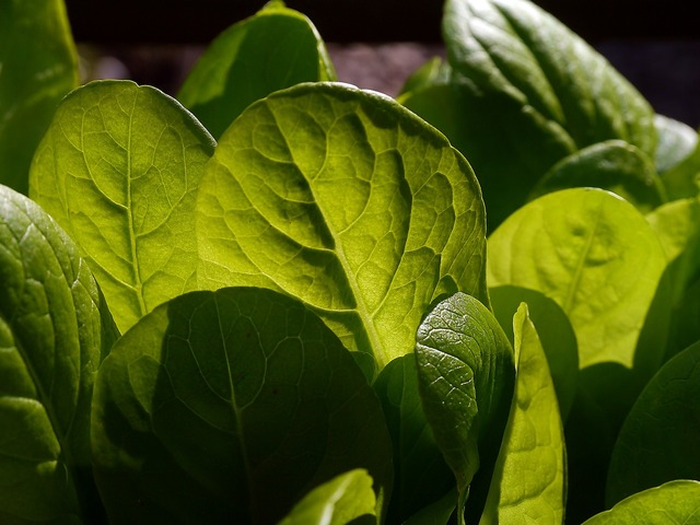 Lettuce salad leaves, nature landscapes.