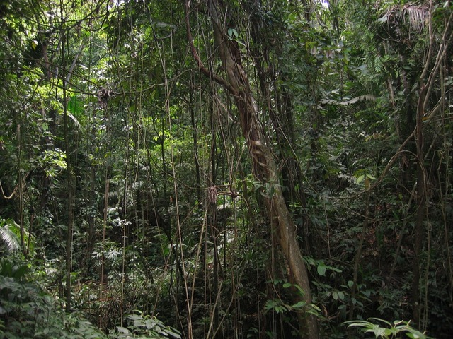 Lianas jungle forest, nature landscapes.