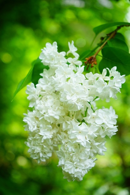 Lilac flowers white, nature landscapes.