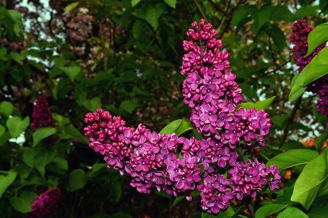 Lilac syringa ornamental shrub, nature landscapes.