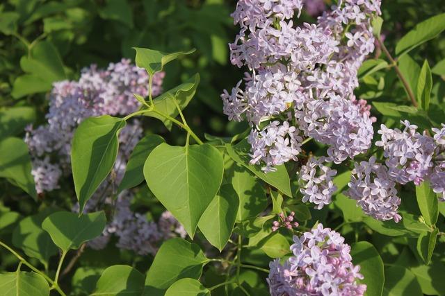 Lilac wildflowers flowers.
