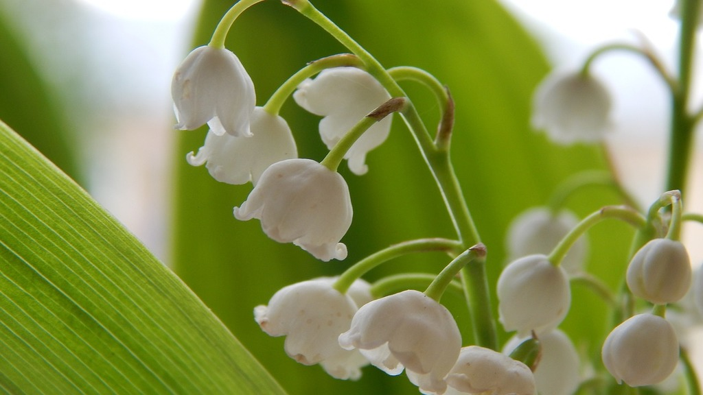 Lilies Of The Valley Flowers Spring Picryl