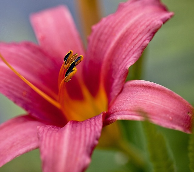 Lily flower blossoming, nature landscapes.